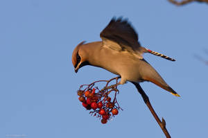 Bohemian Waxwing 4 by one-with-dark