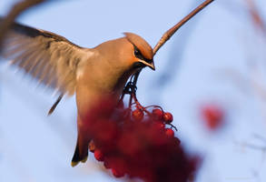 Bohemian Waxwing 5 by one-with-dark