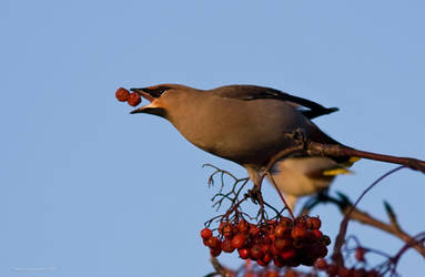 Bohemian Waxwing 7 by one-with-dark