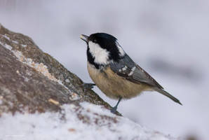 Coal Tit 2 by one-with-dark
