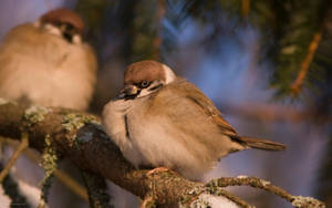 Eurasian Tree Sparrow 2 by one-with-dark