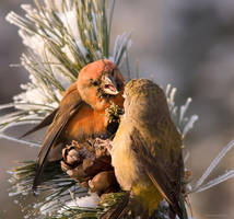 Crossbill 3 by one-with-dark