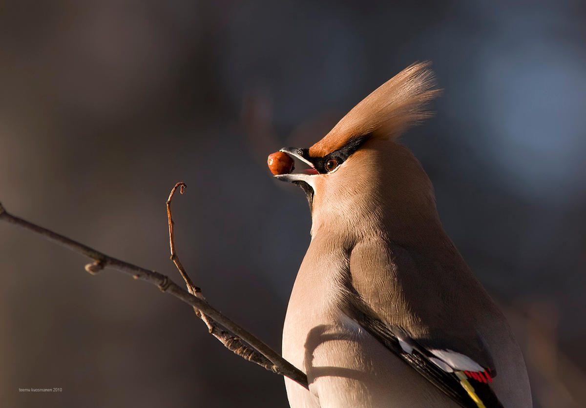 Waxwing by one-with-dark
