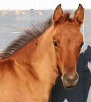 096 : Foal Head Front by Nylak-Stock