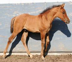 098 : Foal Walk by Nylak-Stock