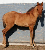 099 : Foal Stand by Nylak-Stock