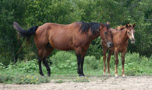 038 : Mother and Foal by Nylak-Stock