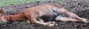 053 : Sleeping Foal by Nylak-Stock