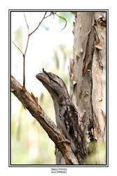 Tawny Frogmouth by godintraining