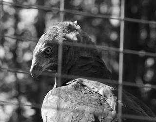 The original photo of the martial eagle by Fallunleashed