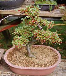 Cotoneaster bonsai by johnbaz