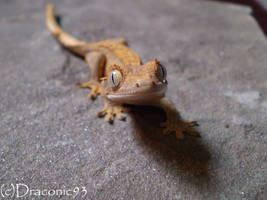 I See You - Baby Crested Gecko by Draconic93