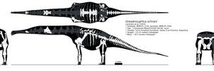Dreadnoughtus  multiview skeletal by palaeozoologist