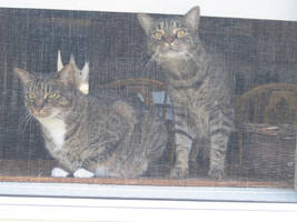 Cats in a Window by ManicDraconis