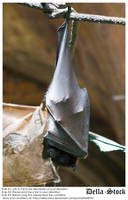 Fruit Bat Curled Up by Della-Stock