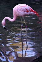 Pink Flamingo by Della-Stock