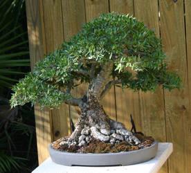 Bonsai- Willow Leaf by Della-Stock