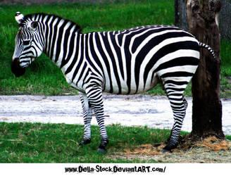 Zebra Zebra by Della-Stock