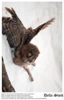 Owl In Flight by Della-Stock