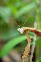 praying mantis by jeanbeanxoxo