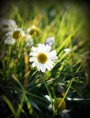 Cammomile by Madzia11Gold