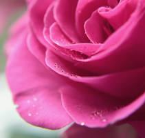 rose by Herzlich-t