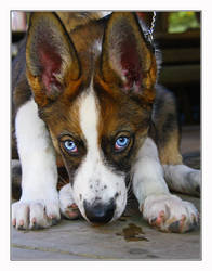 Rambo the dog by Maresolo