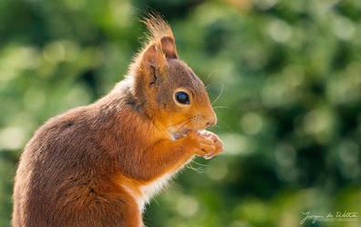Red Squirrel by JurgendeWitte