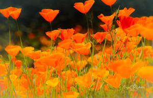 Spring Poppies by StephGabler