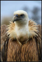 Young Griffon Vulture by Haywood-Photography