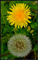 Just dandy by Haywood-Photography