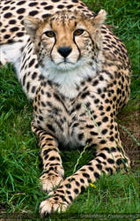 Cheetah.. by Haywood-Photography