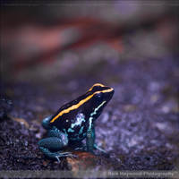 Poison Dart Frog 1289f by Haywood-Photography
