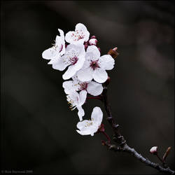 Cherry Blossom 151-9a by Haywood-Photography