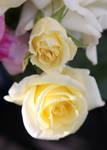 Flowers stock 8 by CathleenTarawhiti