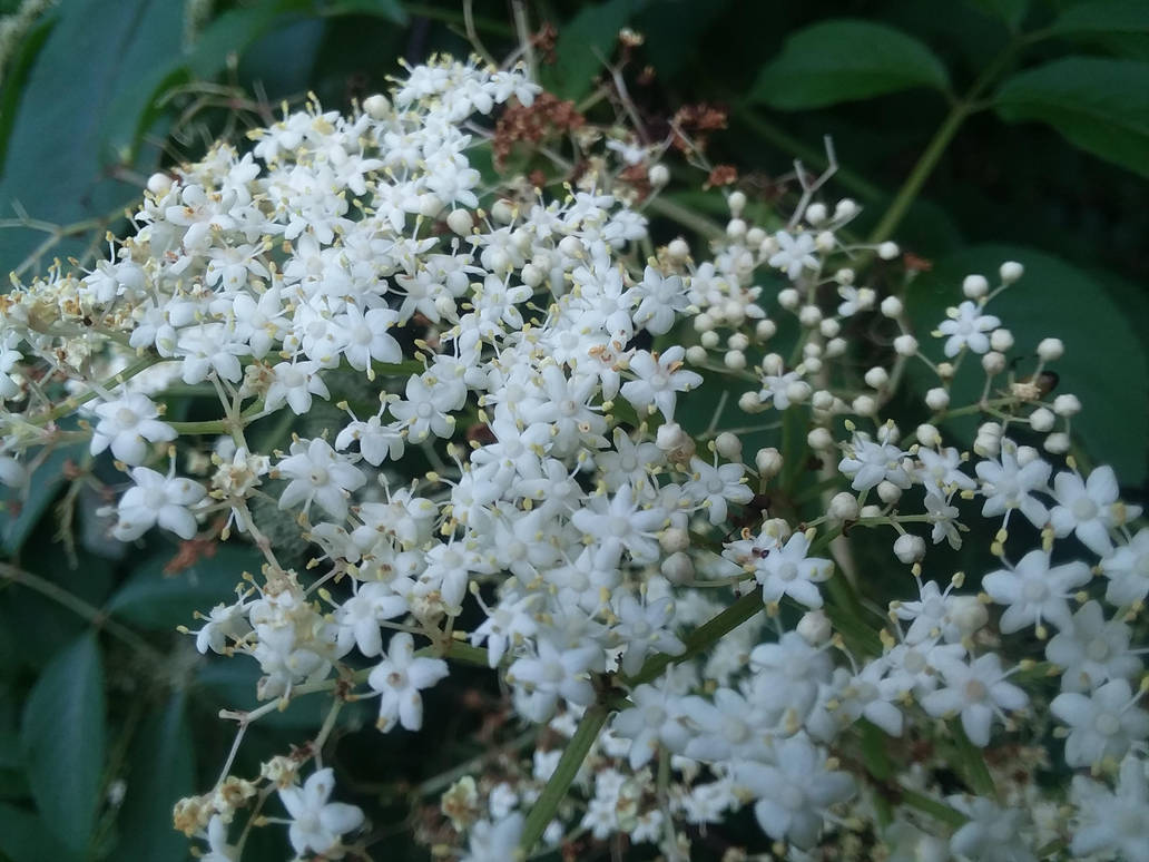 Tiny White Flower Cluster Tree Blooms By Apotheosisofedd On Deviantart