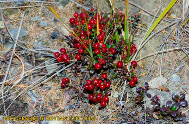 Vaccinium vitis-idaea by DiggerShrew