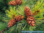 Siberian dwarf pine by DiggerShrew