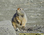 Arctic ground squirrel by DiggerShrew