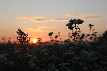 Field of buckwheat at Evening by Sicilium