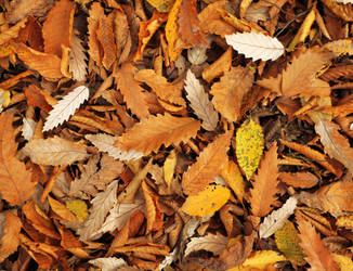 dry Leaves by maghigol