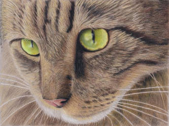 Cat in colour pencil redone by rasberry6