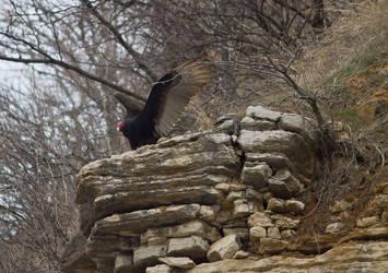 Turkey Vulture by MistressVampy
