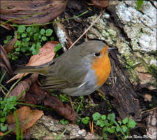 European Robin by Grandmagoingnuts