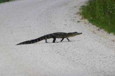 Alligator Walking 3. by Kaiju-Brawler911