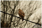 A Large Hawk by TheMan268
