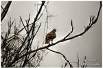 A Red Tail Hawk On A Cold Winters Day by TheMan268
