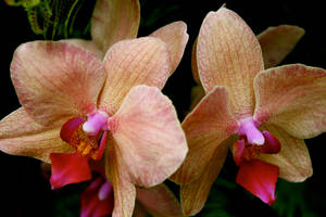Orchid - Red by Applemac12