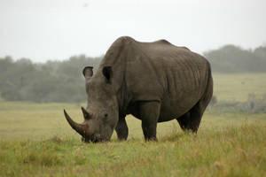 Rhino by bandy1