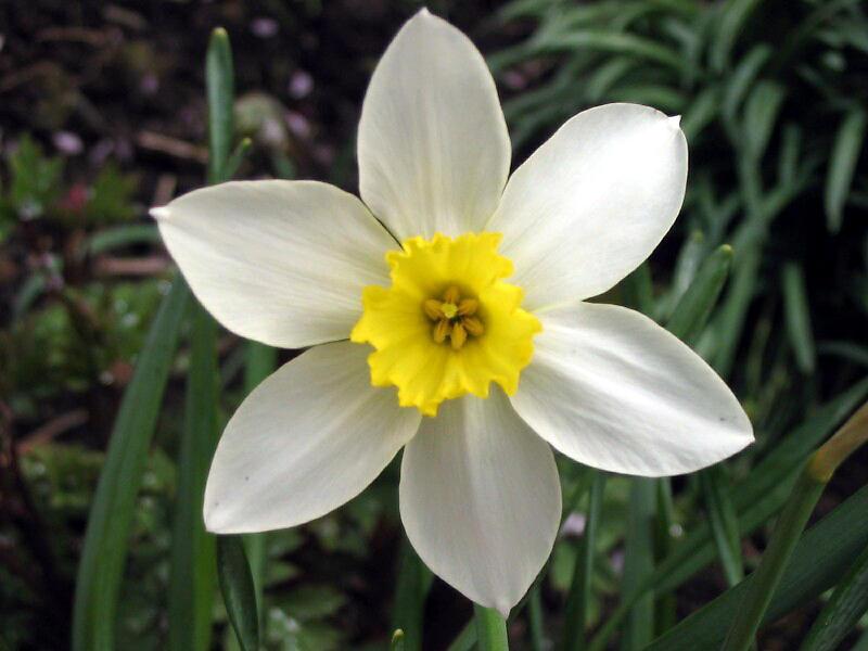 daffodil by abfall